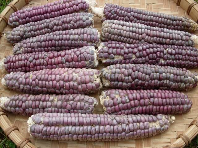 Blue flour corn